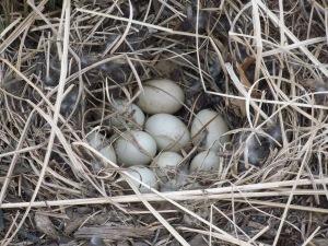 10 Mallard Duck eggs