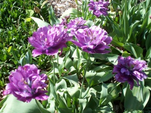 Last of the season's tulips