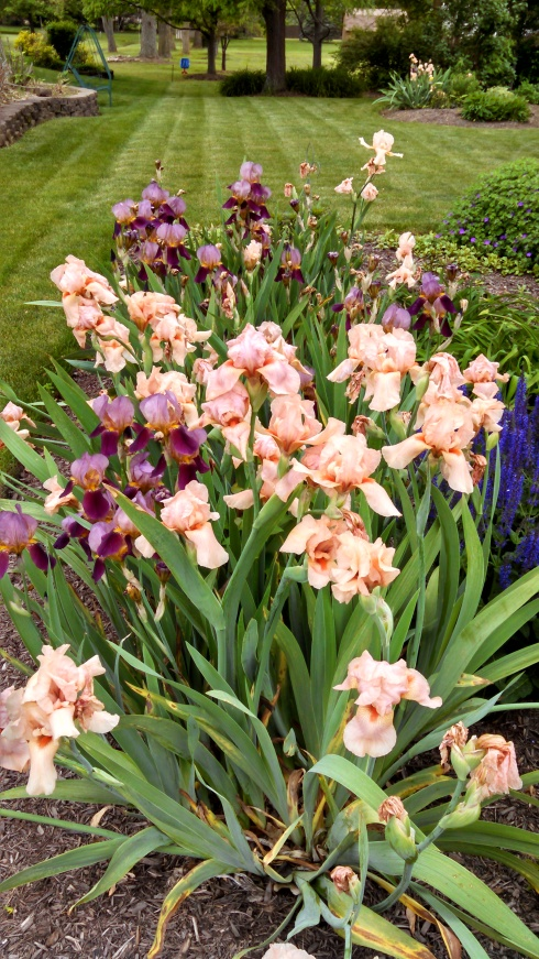 """Iris added to three beds in the """"South Lawn"""""""