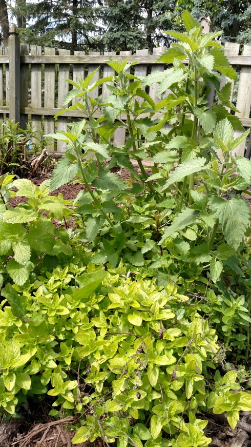 Spring mix of perennial volunteers...catnip, lemon balm, oregano and mint...an island in the garden plot.