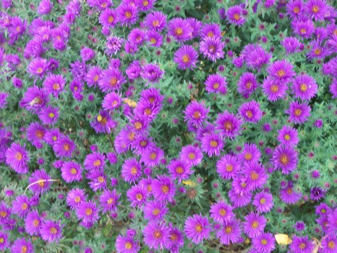 Purple Dome Aster