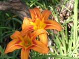 Speciality day lilies in many colors