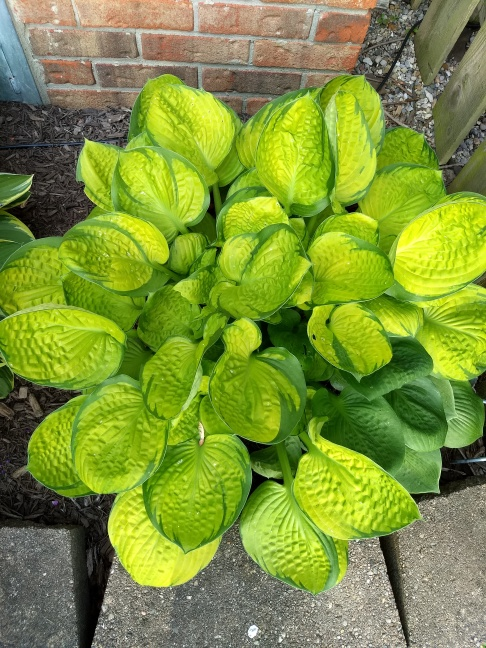 Hosta: Rainforest Sunrise