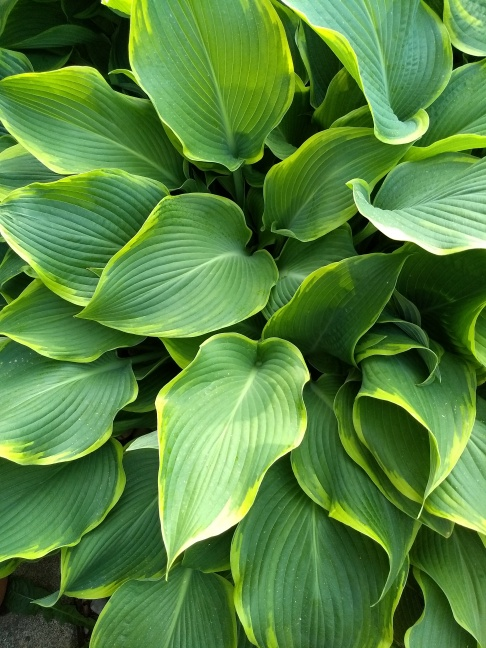 Hosta: Golden edge